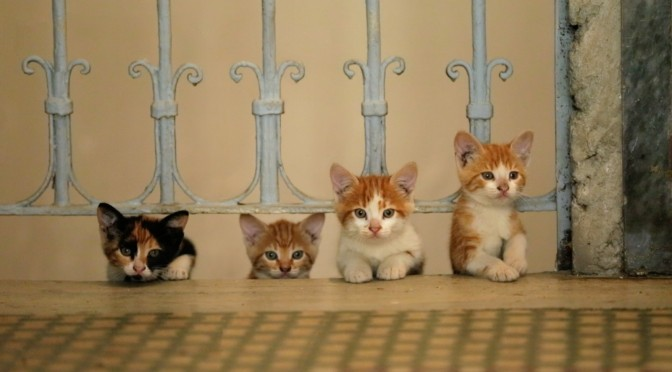 kedi chats